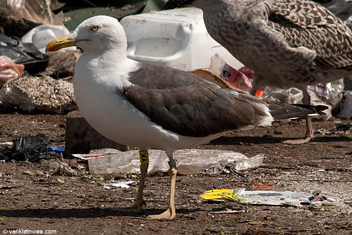 Lesser Black-backed Gull, 4cy, Y[YK]