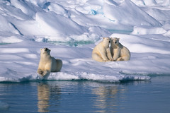 Polar bears (Exodus Travels - Reset your compass) Tags: trip travel holiday snow travelling ice animals norway boat ship no wildlife polarbear polarbears exodus spitzbergen adventuretravel