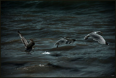 3 seagulls (LuisTorres[memo]) Tags: ocean uk sea 3 birds canon three fly brighton wind seagull gull air united kingdom breeze flickraward