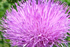 Thistle Light (birdrman) Tags: light purple thistle bullthistle cirsiumvulgare mywinners colorphotoaward fz18