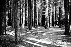 Share the sunshine, youngblood (UppyPhoto) Tags: park trees shadow white black forest sticks twilight bush ghost spooky barren