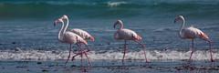 Quartet of vanity ~ Quartett der Eitelkeit (ju.koehler) Tags: flamingo vanity namibia quartett eitelkeit diazpoint friendoffriends vanagram flickrtravelaward
