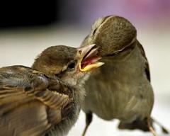 ah ! ces mères ! (lachaisetriste) Tags: paris nature nikon montmartre oiseau moineau d700