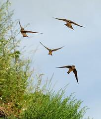 Törmäpääskylaivue (Hannu Haapasalo) Tags: birds birdlife lintu linnut sandmartin bankswallow ripariariparia törmäpääsky