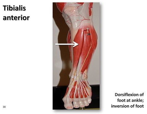 Tibialis Anterior Muscles Of The Lower Extremity Anatomy Visual