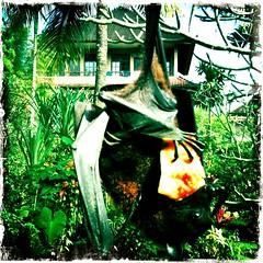 Flying Fox (Colin Remas Brown) Tags: flyingfox