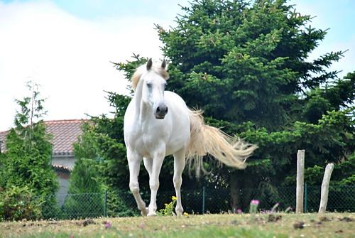 Caballo blanco II
