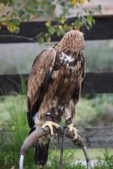 Aguila Caudal