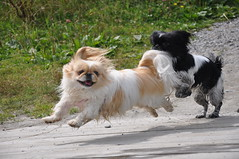 Nana & Chi Chi (syzygial) Tags: playing beach swamp pekingese nana motheranddaughter chichi peke japanesespaniel japenesechin
