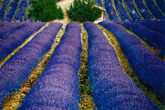 Once upon a time in Provence... (Vainsang) Tags: france topf25 field nikon creative lavender provence moment lavande champ f601 25faves creativemoment mywinners vanagram paololivornosfriends updatecollection ucreleased bestofmywinners