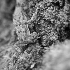 frog! (brian hefele) Tags: frog toad lichen