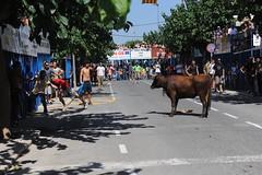 JTS_2530 (Thundershead) Tags: animal ro river cow delta bull bulls toros ebro toro vaca riu muu ebre amposta brau montsi terresdelebre braus loriusvida