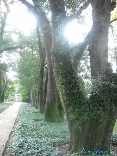 venerable live oaks