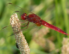 Scarlet dragonfly (Crocothemis erythraea) (Luigi Strano) Tags: sardegna italy animals buzz europe italia sardinia sardinian dragonflies dragonfly insects bugs animali cagliari sardinien libellule insetti sardaigne cerdea sarrabus sardenya sardigna crocothemiserythraea scarletdragonfly sardenha burcei sardinnya montideisettefratelli riocannas