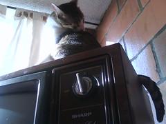 Acicalndose (Julin Ortega Martnez) Tags: cute cat chat colombia bogot sharp gato  gatto gatti gat