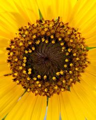 Sunflower (TXphotoblog) Tags: brown plant flower color macro nature yellow closeup sanantonio pretty pattern texas sunflower botanicalgardens themacrogroup