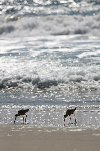 Curlews hunting