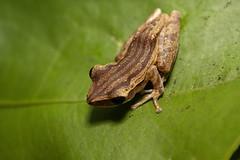 IMG_9410 (beggs) Tags: nature animal singapore amphibian frog 2010 whitelippedtreefrog commontreefrog polypedatesleucomystax fourlinedtreefrog