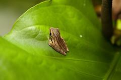 IMG_9414 (beggs) Tags: nature animal singapore amphibian frog 2010 whitelippedtreefrog commontreefrog polypedatesleucomystax fourlinedtreefrog