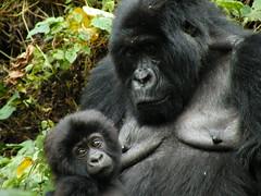 Maternit (ric73cardo) Tags: africa park travel black monkey ranger gorilla darwin congo uganda primate silverback foresta scimmia virunga platinumheartaward flickraward flickraward5