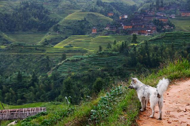 A dog in Longsheng Rice Terrace, Guangxi, China