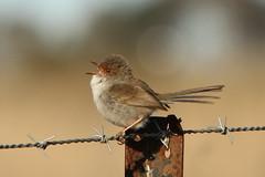 Singing (kasia-aus) Tags: bird nature female wire singing australia canberra wren barbwire act 2010 lakeginninderra superbfairywren