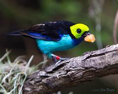 Avian Take-out (Jim Frazee) Tags: ngc sandiegozoo supershot topshots paradisetanager tangarachilensis bej specanimal hummingbirdaviary mywinners anawesomeshot natureselegantshots flickrsportal