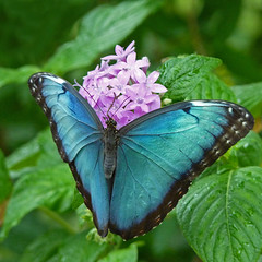 Morpho Butterfly (njchow82) Tags: plant flower nature closeup butterfly insect purple wildlife calgaryzoo morphobutterfly njchow82 dmcfz35 metallicbluegreen