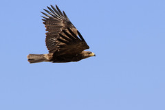 Tawny Eagle (valentinastorti) Tags: africa wild bird nature birds flying eagle kenya flight east safari uccelli volo birdwatching animali animale uccello aquila tawnyeagle olpejetaconservancy