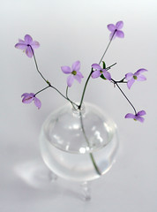 my new rue (Something To See) Tags: life flower garden photography still vase alledges