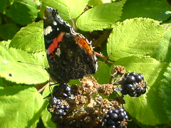 red admiral on blackberries (ashleigh-street) Tags: blue red male small tortoise shell fishtank snooze admiral blackberries comman