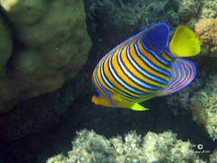 Regal Angelfish - Pesce Angelo (Samuel Chinellato) Tags: red sea coral canon mar flickr turtle dolphin egypt angelo reef abu barriers rosso angelfish egitto regal s70 2010 marsa alam pesce delfini tartarughe abou coralli dabab dabah dabbab mirafotocontest