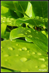 Aprs la pluie / After the rain... (Cuba 2010) (Photog-Nic) Tags: green leaves rain drops cuba pluie vert feuilles melia gouttes cayococo ciegodeavila feuillage canon40d goutellettes