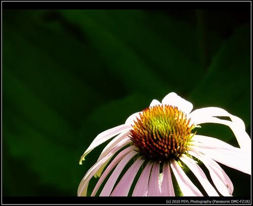 Ox-eyed Daisy (Chrysanthemum leucanthemum)