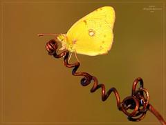 TIRAMOLLA (Siprico - Silvano) Tags: canon butterfly  natura p macros vb farfalla zx czas potofgold macrofotografia cernuscosulnaviglio i macrofografia buzznbugz siprico fotografianaturalistica soloreflex pricoco silvanopricoco wwwpricocoorg httpwwwpricocoorg wwwfotografiamacrocom vp jtpjp jufdzrsa pfdzwsax 3u