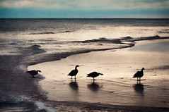 334/365: Four Geese a Laying? (pixelmama) Tags: november texture birds sunrise geese shadows lakemichigan gettyimages 2010 project365 evanstonillinois chasinglight shadowhousecreations 3652010 thoughitlookslikesunset geesefourgeesealaying