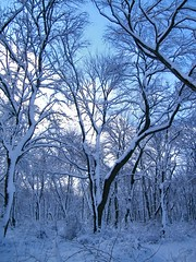 16 Trees 012611 (Jennie Ivins) Tags: blue trees winter white snow forest newjersey woods blizzard frosting mercercounty