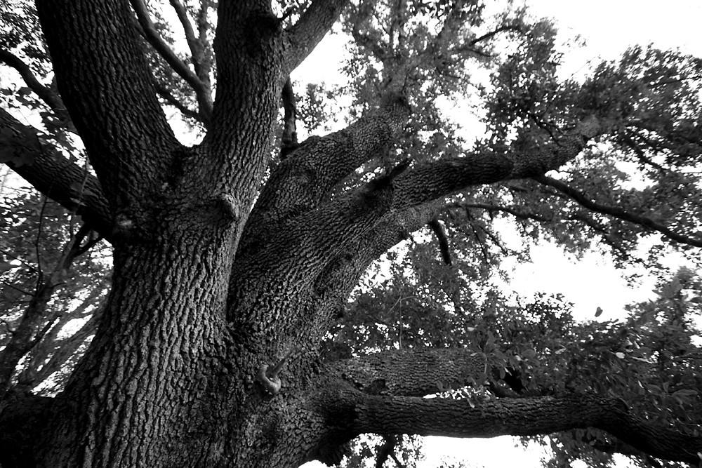 B&W 2/28:  Live Oak