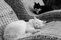 Black cat, white cat (guido.masi) Tags: blackandwhite white black cat canon eos 350d masi bianco nero guido biancoenero blackcatwhitecat gattonerogattobianco guidomasi