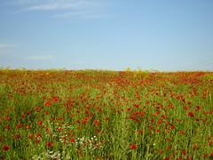Poppy fields (greekguy29) Tags: field greece poppies fotocompetitionbronze fotocompetitionsilver pregamewinner