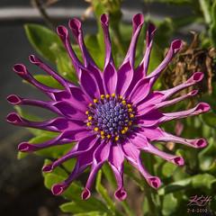 Purple Sun