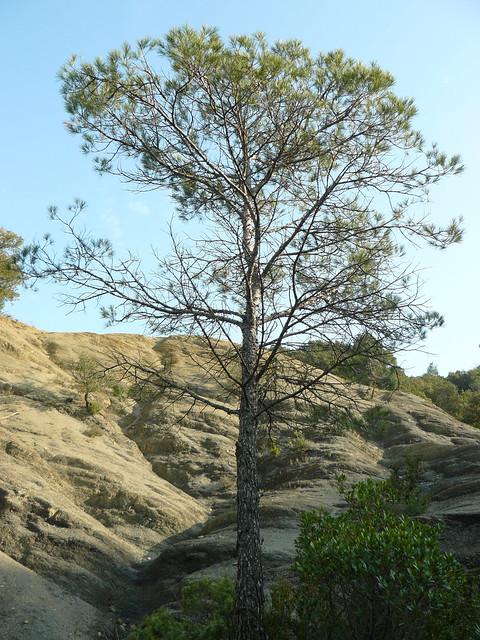 pine tree & marl hills