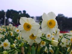 Daffodil (地景花海區)