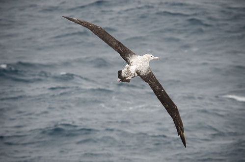 The Wandering Albatross showing off his impressive wingspan