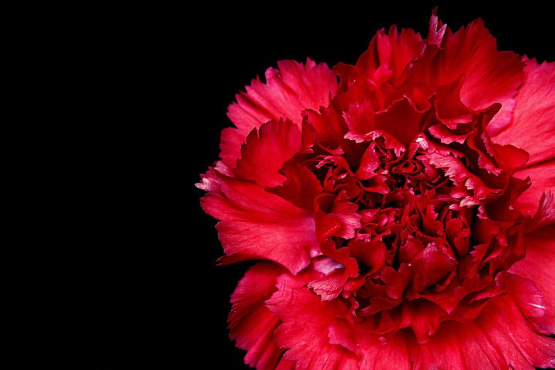 【色別】カーネーションの花言葉 白・オレンジ・ピンク・赤・緑