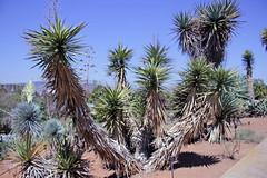 Yucca aloifolia L. - Jardin Botanico de Barcelona (Ruud de Block) Tags: bgbarcelona jardinbotanicodebarcelona ruuddeblock asparagaceae taxonomy:binominal=yuccaaloifolia yuccaaloifolia