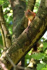 Eichhörnchen (matthes2511) Tags: eichhörnchen sciurus vulgaris sciurusvulgaris