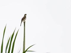 Cuban Solitaire _ Myadestes elisabeth (Kremlken) Tags: endemics cuban birds birding solitaires songs lagüira nationalparks westerncuba pinardelrio