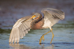 Imposter (gseloff) Tags: tricoloredheron bird feeding nature wildlife horsepenbayou pasadena texas kayakphotography gseloff