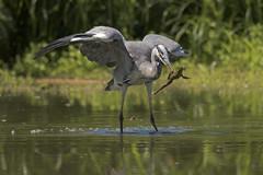 The catch (Ricky_71) Tags: grey heron airone cenerino nikon wild